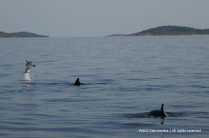 Chorwacja delfiny murtersko more