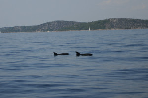 Croatia dolphins on Murtersko More