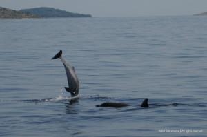 Delfiny Chorwacja c