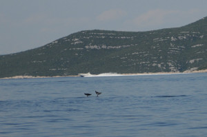Murtersko more dolphins